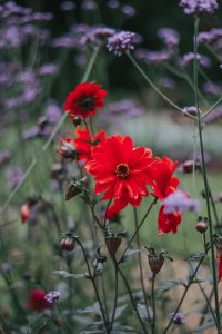 Beautiful red and purple flowers at the Plantation gardens Norwich.